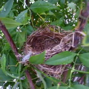 スズメのスタート風景と 庭の鳥の巣