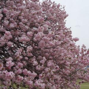 八重桜とフリージア