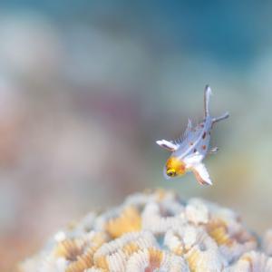 復帰! ヒオドシベラ幼魚