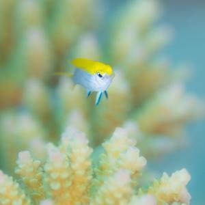 ふつー種 クロスズメダイ幼魚