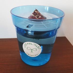 ヒヤシンス水栽培