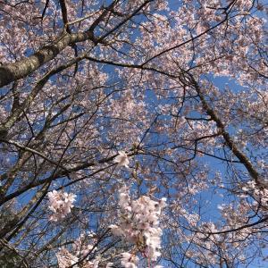 Self Magnalonga🐶Duex 桜咲く頃