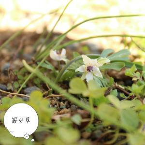 節分の頃に咲く節分草