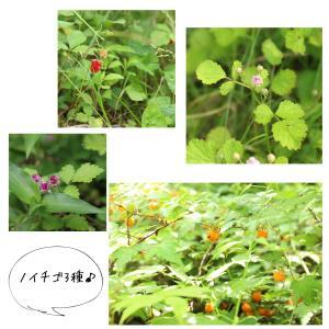 野イチゴ3種のご紹介♪