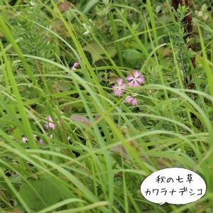 海岸散策②秋の七草『カワラナデシコ』