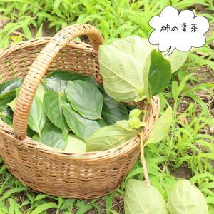 毎年恒例 柿の葉でお茶作り