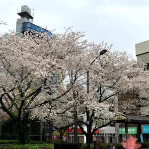 犬の散歩をしながら桜鑑賞 駒込から巣鴨