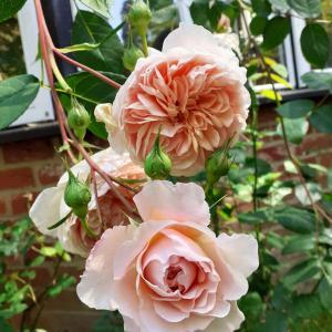 イギリスのバラ真っ盛り