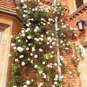 イギリス薔薇の季節