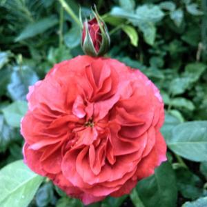 7月末のうちの薔薇