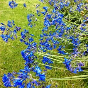 8月のイギリスの花