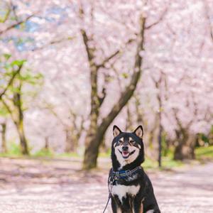 桜と和犬って絵になるわー