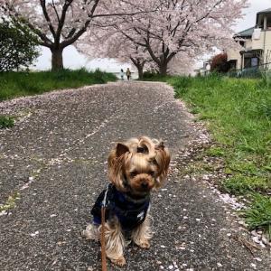 毎年恒例の桜の季節に記念写真