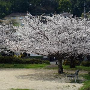 2020桜 満開?