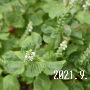 大葉の花がいっぱい❗️