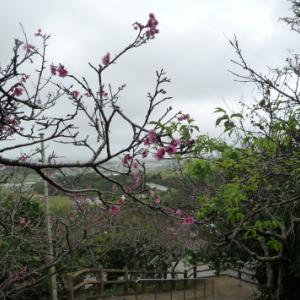 沖縄本島南部で桜を見る会