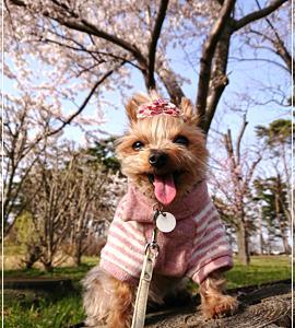 天グリの桜