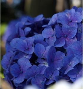 天グリの紫陽花