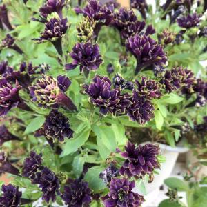 紫色のお花たち