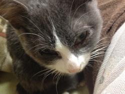 FIPと闘っている可愛い子猫、むぎちゃんの話。(>へ