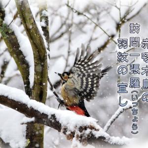「赤啄木鳥 羽ばたく♪」