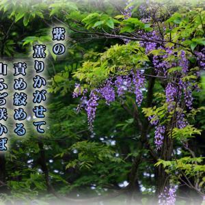 「やま藤の花」