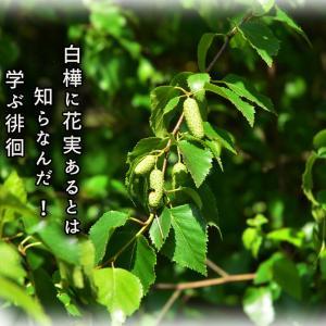 「白樺の実」
