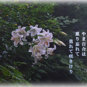 「ヤマユリは夏の花」