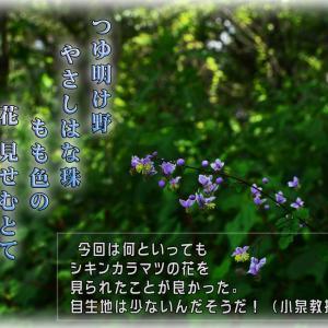 「シキンカラマツ(紫錦唐松)」