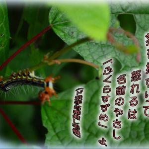 「威嚇する毛蟲(フクラスズメ蛾の幼虫)」