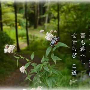 「旅する蝶々アサギマダラ2020年」