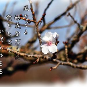 「妙義の冬桜」