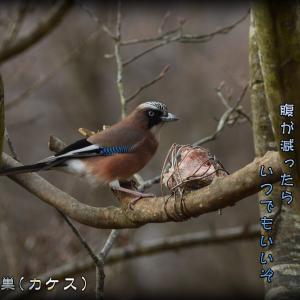 「いなせ鳥/カケス」