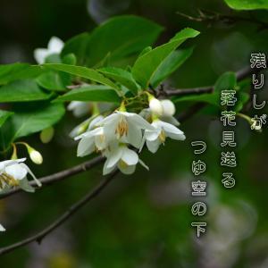 「エゴの木の花」
