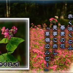 「赤ソバの花」