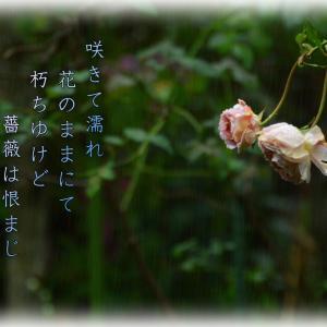 「薔薇に雨」