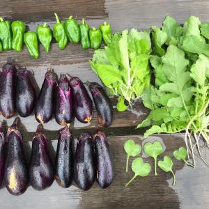 白菜と大根の間引き仕事とかきゅうりのこととか、畑しながら考えたこと。