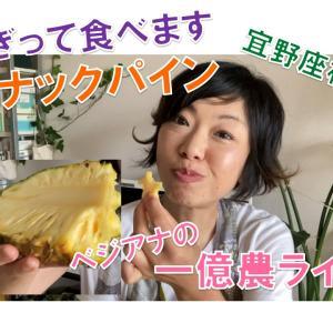 ちぎって食べます! スナックパイン!  宜野座村のすーきパイン農園さんから届きました!