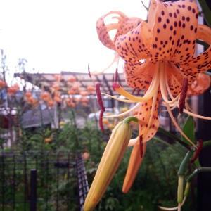 夏の花・・・オニユリ