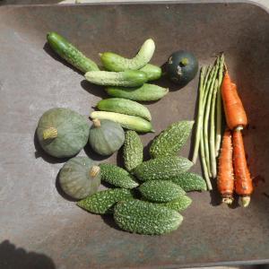 秋野菜?、の収穫