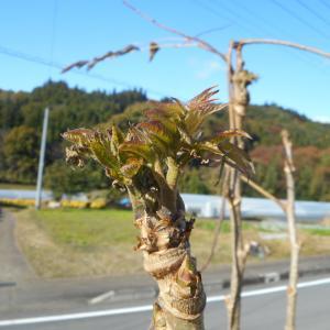 タラの芽、季節外れ