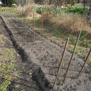 タマネギの定植