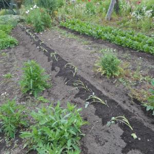 サツマイモを定植
