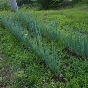 長ネギの定植