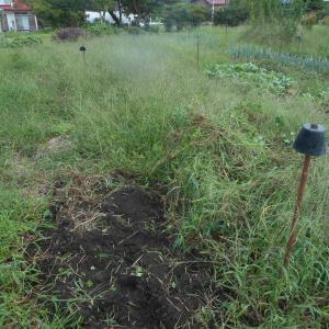 タマネギの畝を準備