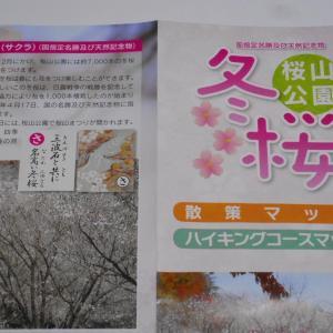冬桜、散策