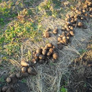 里芋の保存