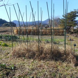 長芋の初掘り
