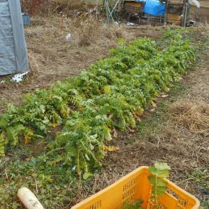 大根の収穫と保存
