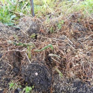 アスパラに,防草で防霜